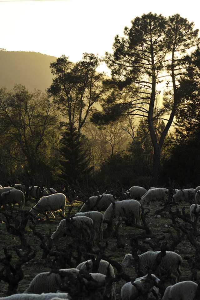 Domaine de la Fouquette - Agriculture biologique - Vitipastoralisme